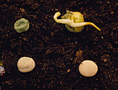 4 stages of germination of a pea plant