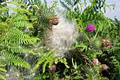 Spear thistle seeds (Cirsium vulgare)
