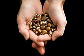 Castor-oil plant seeds,hands holding