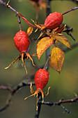 Rose hips (Rosa sp.)