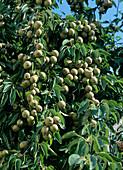 Grey pears