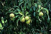 Snow pear (Pyrus nivalis)