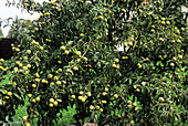 Pear (Pyrus eleagnifolia)