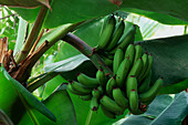 Green bananas on plant