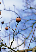 Common medlar fruit (Mespilus germanica)