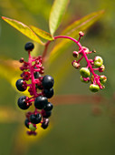 Common pokeweed (Phytolacca americana)