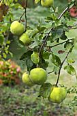 Quince fruit (Cydonia oblonga)