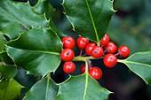 Holly berries (Ilex aquifolium)