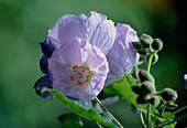 Flowering Maple. (Abutilon vitifolium 'Veronica Tennant')