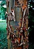 Paper- Bark Maple. (Acer griseum)