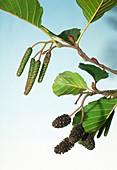 Common Alder. (Alnus glutinosa)