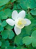 Aquilegia flabellata 'White Jewel'