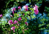 Flowering Maple. (Abutilon x suntense 'Violetta')
