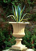 Century Plant. (Agave americana 'Variegata')