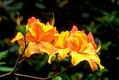 Azalea. (Rhododendron 'Zanzibar')