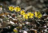 Amur adonis flowers (Adonis amurensis)