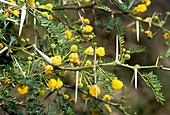 Acacia flowers (Acacia karoo)