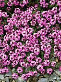 Stonecress (Aethionema 'Warley Rose')