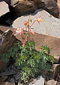 Sierra columbine (Aquilegia pubescens)