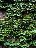 Kiwi fruit plant (Actinidia chinensis)
