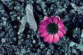 Amur adonis flower in UV light