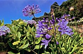 African blue lilies (Agapanthus sp.)
