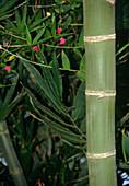 Bambus vulgaris