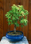 Bonsai Acer palmatum benichidora