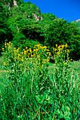 Yellow rocket (Barbarea vulgaris)