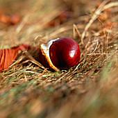 horse-chestnut