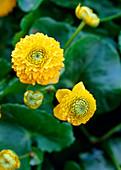 Caltha palustris Flore Pieno