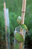 Pacific dogwood (Cornus 'Audubon')