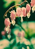 Bleeding heart flowers (Dicentra sp.)