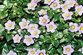 Persian violet (Exacum affine)