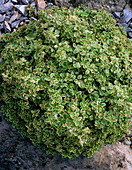 Origanum vulgare 'Polyphant'