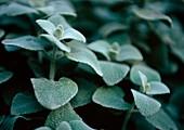 Silver spurflower (Plectranthus argentatus)