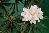 Rhododendron roxianum var oreonastes