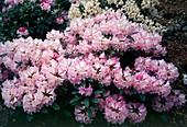 Rhododendron Yaku Prince