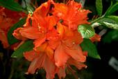 Rhododendron Balzac