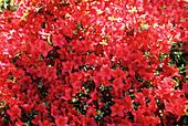 Red azalea (Rhododendron sp.)