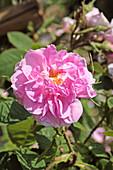 Rose (Rosa 'Des Quatre Saisons')