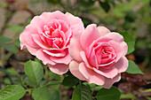 Rose (Rosa 'Cote Jardin's')