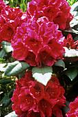 Rhododendron 'John Walter' flowers
