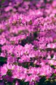 Azalea flowers (Rhododendron sp.)