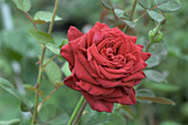 Hybrid tea rose (Rosa 'Rouge Adam')