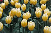 Tulipa Sweetheart