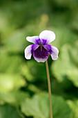 Australian violet (Viola hederacea)