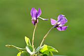 Sweet violet flowers (Viola odorata)