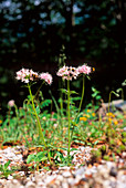 Valerian flowers (Valeriana montana)
