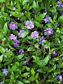 Lesser periwinkle 'Azurea Flore Pleno'